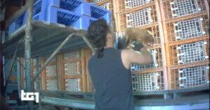 Il Tg1 diffonde la nostra indagine negli allevamenti di galline