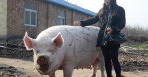 Dopo 2 anni dall'uscita del film Okja, il maiale gigante diventa una triste realtà