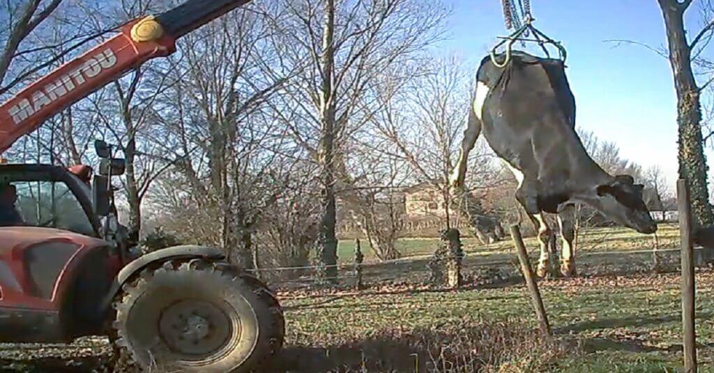 Ecco cosa succede a una mucca quando non è più produttiva