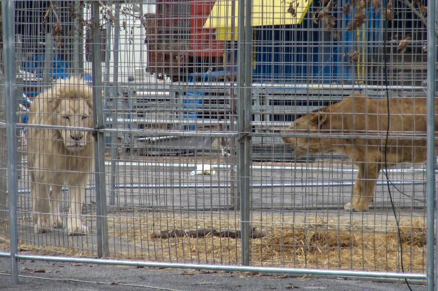 Animali nel circo di Brescia