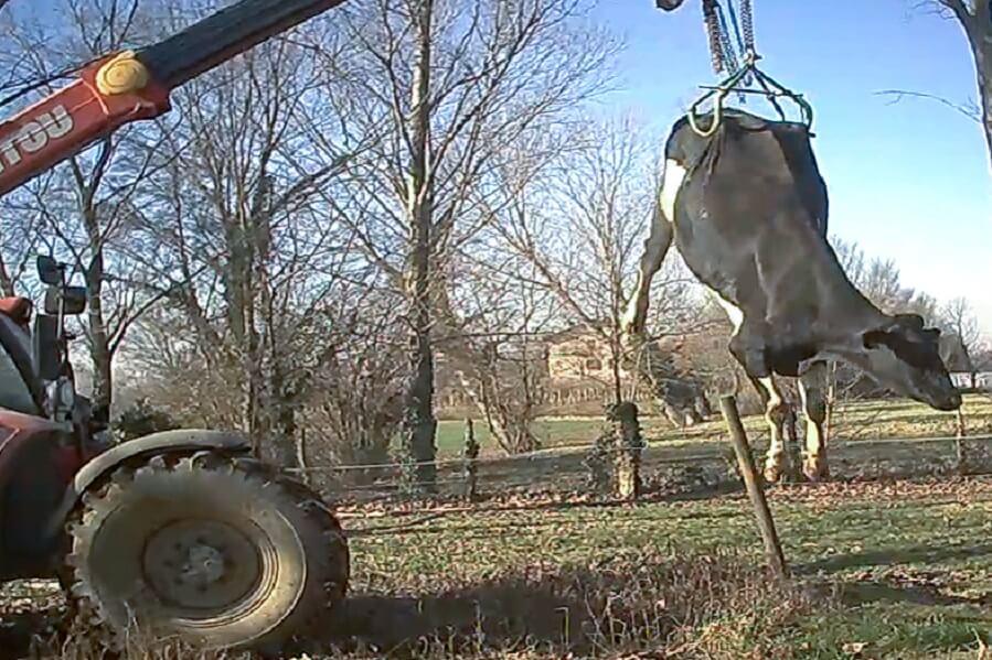 mucca a terra sollevata con un un muletto