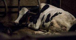 Anche le mucche incinte finiscono al macello