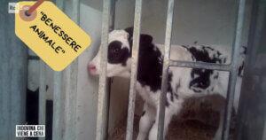 """""""Benessere animale"""" sulle confezioni: è solo marketing, Rai3 mostra la verità"""