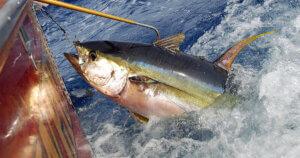 La pesca industriale sta portando i tonni all'estinzione