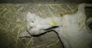 Agnelli maltrattati in Francia: sospesa la macellazione dopo un'indagine animalista