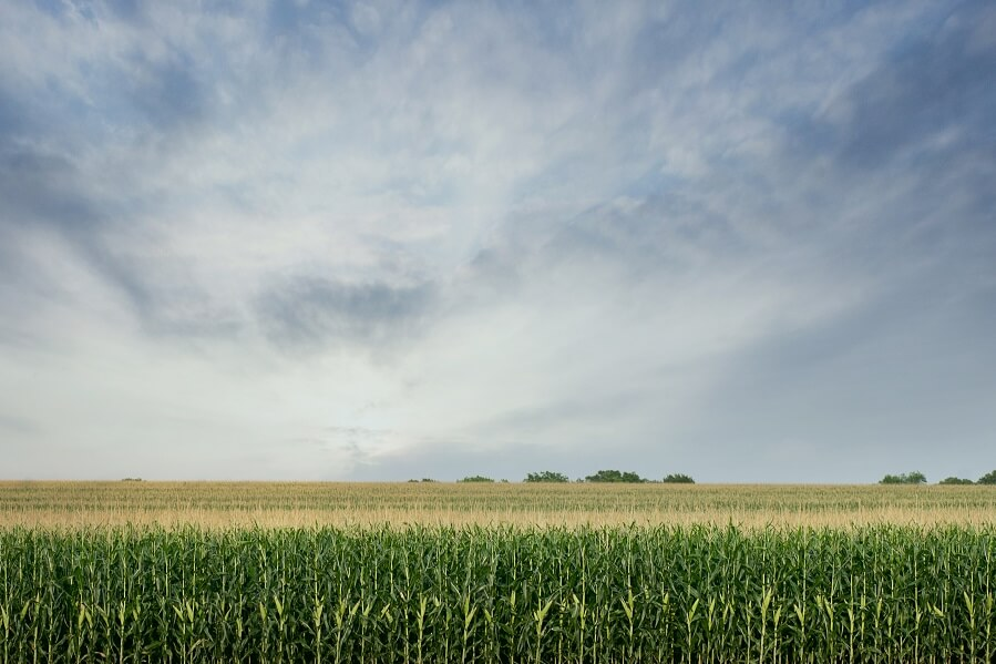 Campo agricolo di mais