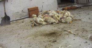 [Indagine] Il crudele trattamento dei polli venduti a marchio AIA