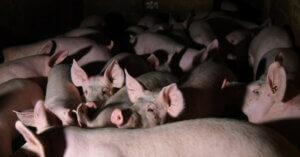 I fondi europei a chi inquina di più: gli allevamenti intensivi
