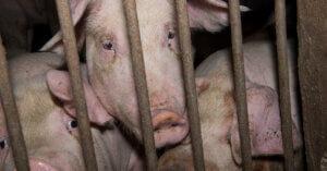 Cina, individuato nei maiali un virus potenzialmente pandemico