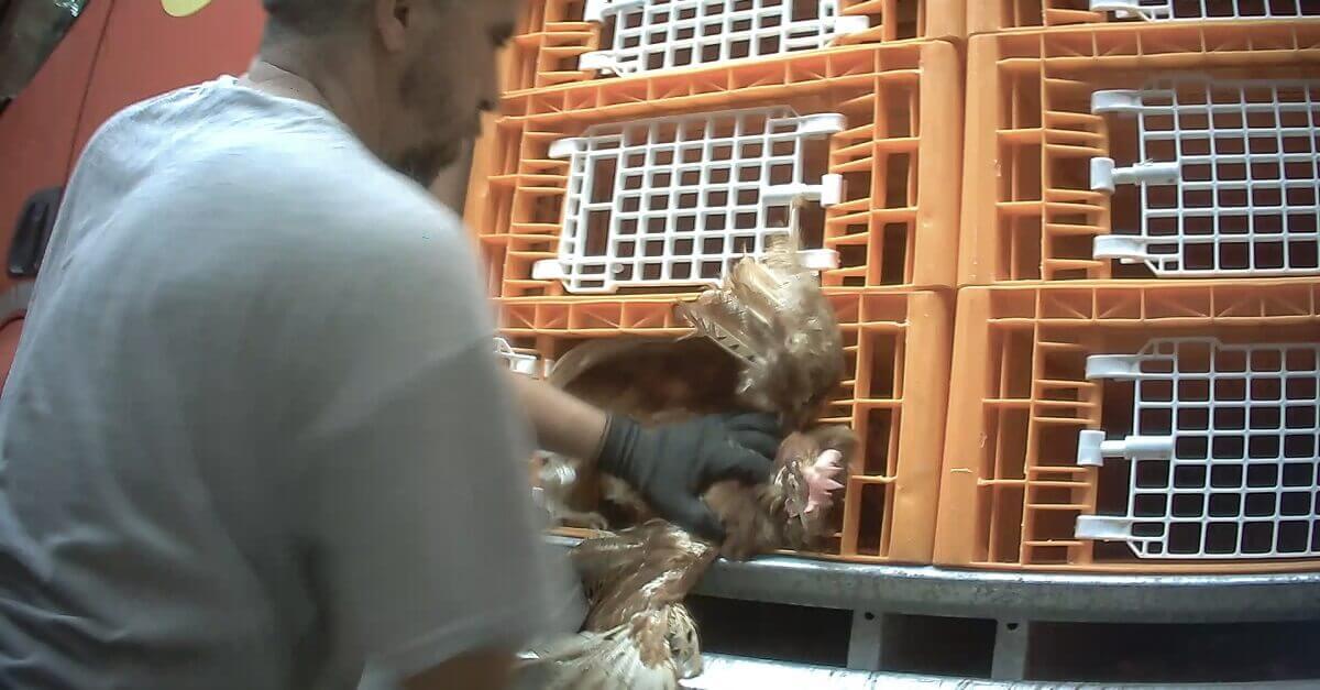 Carico violento delle galline verso il macello