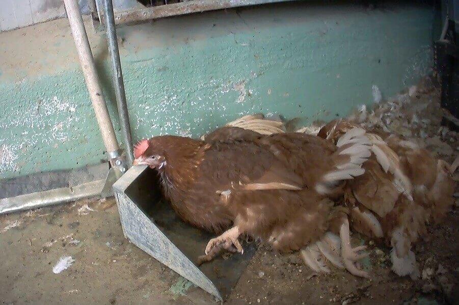 Una gallina in un allevamento fornitore di le Naturelle