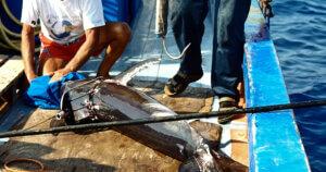 [INDAGINE] La brutale pesca con l'arpione del pesce spada