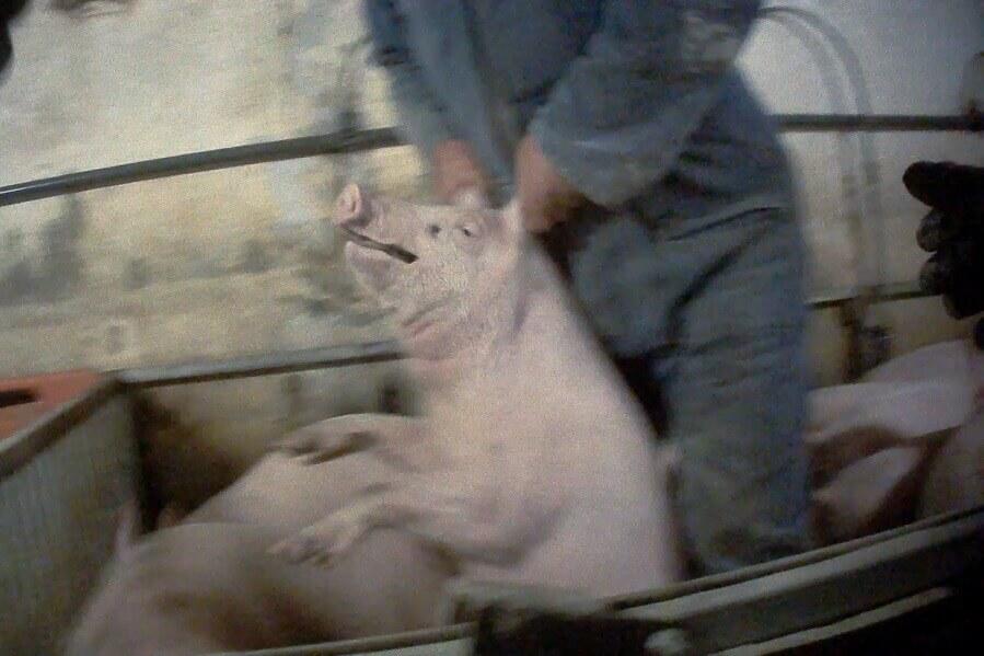 maiale maltrattato in allevamento intensivo