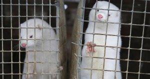 Olanda vieta gli allevamenti di visoni, Covid in oltre 40 aziende