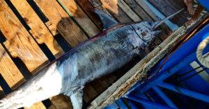 Spadare, arpioni, palangari: non c'è tregua per il pesce spada