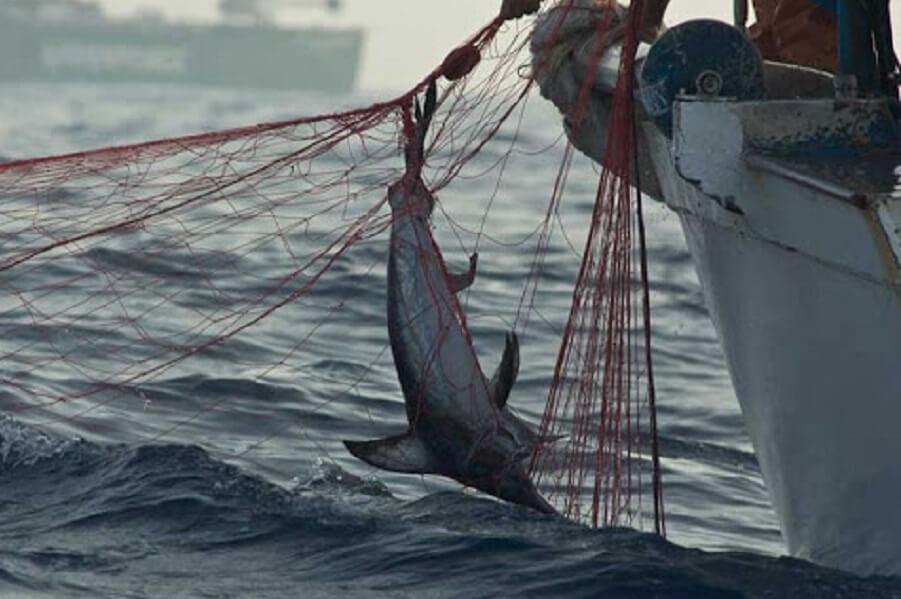 Pesce spada catturato in una spadara