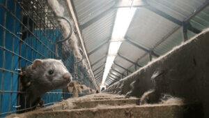 Dalla Polonia l'indagine nell'allevamento di visoni più grande al mondo