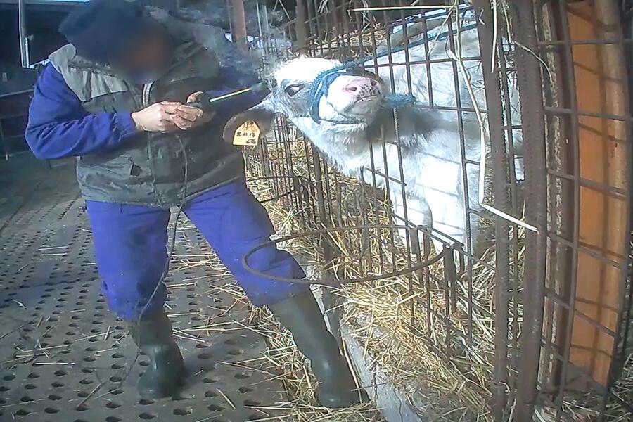 bruciatura corna mucche essere animali