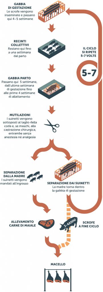 Infografica che illustra il ciclo di vita di una scrofa negli allevamenti intensivi